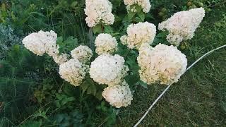 Гортензии на 30 июля и мой сад