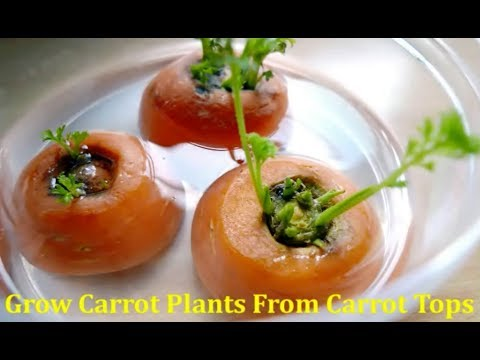How To Grow Carrot Plant From Carrot Tops To Yield Seeds Youtube