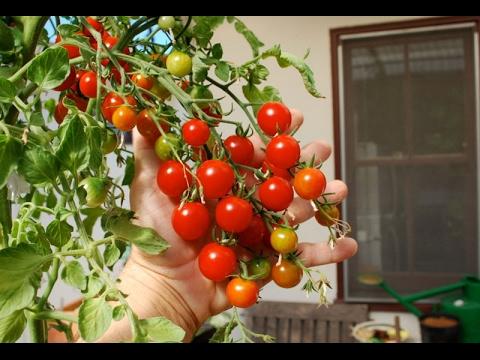 Como sembrar tomates en casa youtube for Como cultivar peces en casa