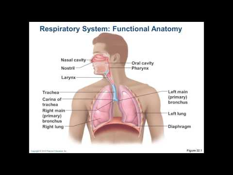 Chapter 22 - Respiratory 1 - The Larynx, Voice, and Respiratory Processes