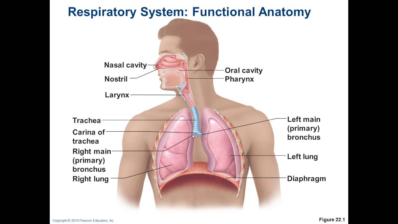 Chapter 22 - Respiratory 1 - The Larynx, Voice, and Respiratory ...