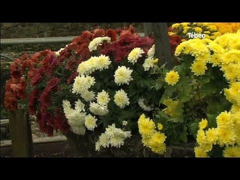 Toussaint : Les chrysanthèmes de l'Abbaye de Landévennec