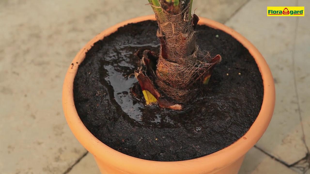 aus dem Gebirge von Manipur bis 20 Grad RARIT/ÄT Frostharte Hanfpalme Trachycarpus Ukhrulensis Gr/ö/ße bis 120 cm