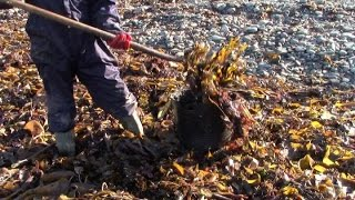 Collecting Seaweed For The Garden