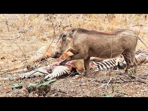 Hungry warthog eats zebra meat - Unusual wild animal behavior | Latest sightings of strange wildlife