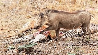 Hungry warthog eats zebra meat - Unusual wild animal behavior | Latest sightings of strange wildlife