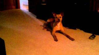 Basenji Mix Dog Gurgling, Yodel And Barking