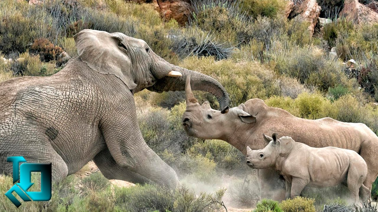 Носорог в Деле / Носорог против Слона, Бегемота, Буйвола