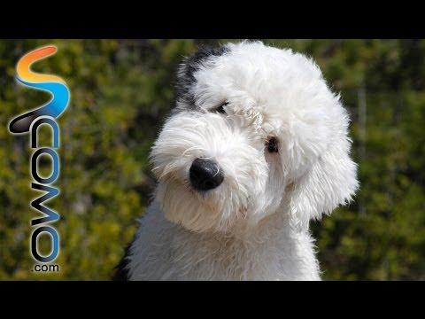 El perro Bobtail