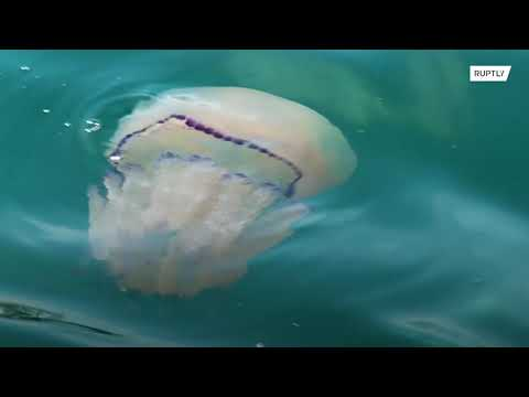 Italy: Horde of pink jellyfish invade Trieste's waters