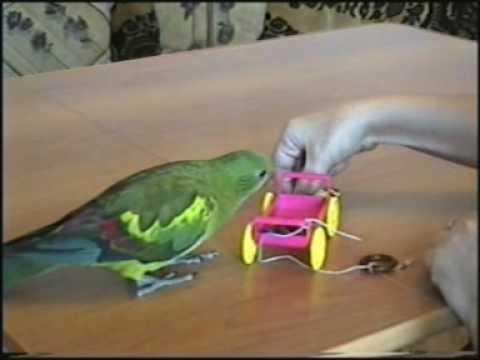 Оська2 regent parrot Oska