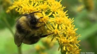 Жизнь замечательных шмелей c англ. субтитрами -  Bumblebees with subtitles