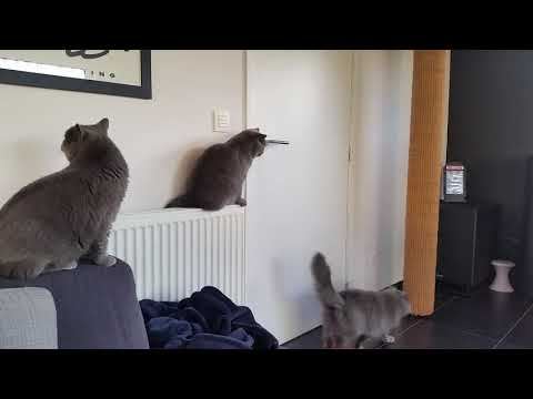 Our British shorthair cats are waiting at the door ...