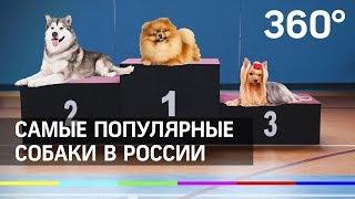 """Немецкий шпиц """"сделал"""" Хаски - рейтинг самых популярных собак в России"""