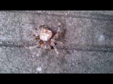 Паук-крестовик – описание, виды, фото, где обитает, чем