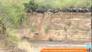 Wildebeest Migration in Kenya Masai Mara Part 2