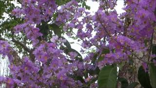 The BEAUTY of Lagerstroemia Speciosa Flowers @ riverPark Bishan   Singapore !