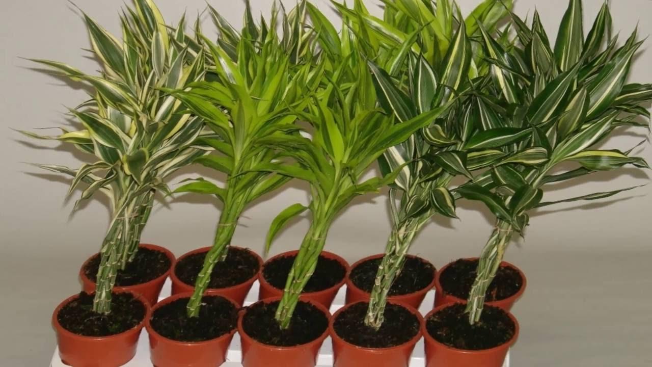 Декоративный бамбук в домашних условиях уход Flowery-Blog 72