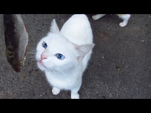 White cat wants to eat and drink