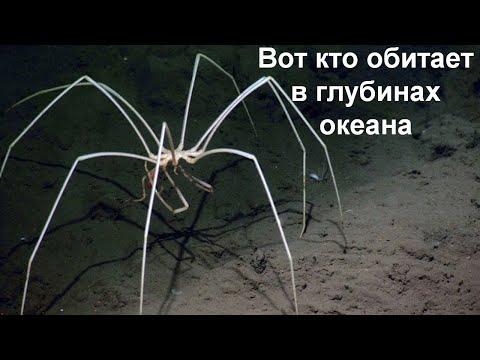 Жуткое существо из глубин океана!  Морской паук!