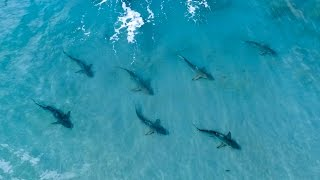 Awesome Blacktip Drone Footage and Fishing for Blacktips - ft. Layne Norton