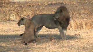 [Tanzania 2010] Leoni...la coppia inseparabile del Katavi.