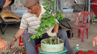 Kỹ thuật đi dây tạo dáng nước đầu cho mai bonsai (Lê Quý  bonsai)