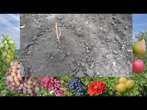 Как правильно сажать саженцы винограда осенью