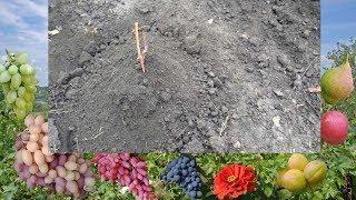 Начинающим. Посадка винограда черенком осенью