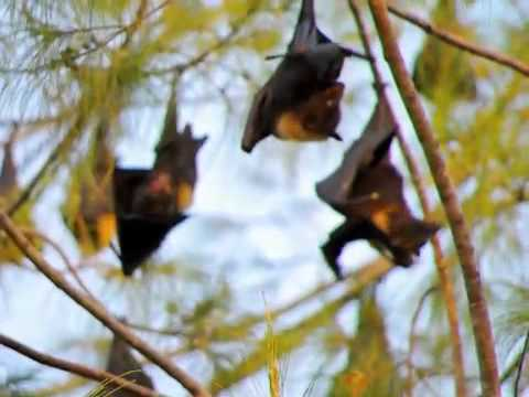 Flying Foxes   Bats in Tonga