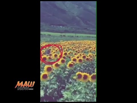 Maui Sunflower Field Mystery: What Do You See?