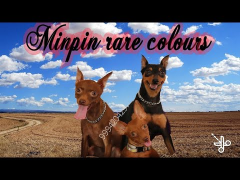 Minpin rare colors show dogs for pups 9994204297