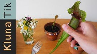 Kluna eating carnivorous PLANTS! R.I.P. Charlie?!  - Kluna Tik Dinner #18 | ASMR eating sounds thumbnail