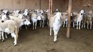 La qualité des moutons Maroc 2016