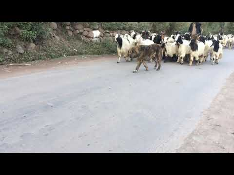Gaddi Dog | Bakrwal Dog | Herding Dog | Best Guard Dog | Bakarwal Dog Working