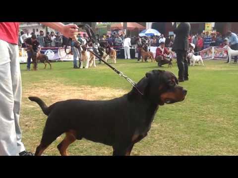 Gurgaon Kennel Club GKC 2017 Dog Show video - Part 1