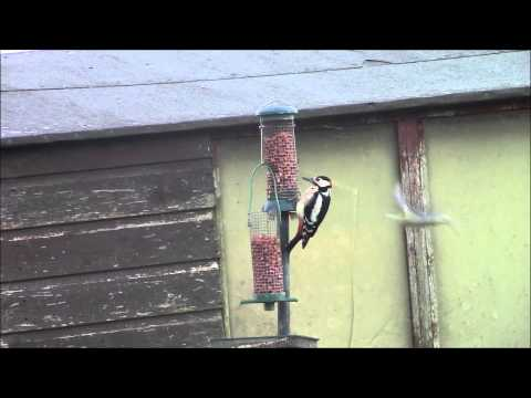 The Woodpecker  Pecking Order (Greater Spotted)