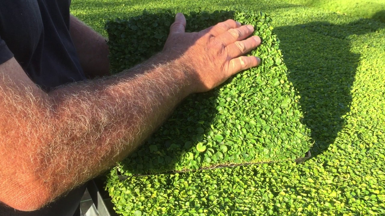 Plant Tiles Of Dichondra Repens Youtube
