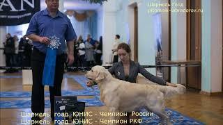 Золотистый ретривер Шармель Голд Юнис - Чемпион России, Чемпион РКФ.