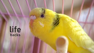11 Life Hacks for Budgie Owners (tips & tricks)