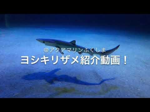世界で最も美しいサメ、ヨシキリザメの子供たち! @アクアマリンふくしまPrionace glauca,  Blue shark