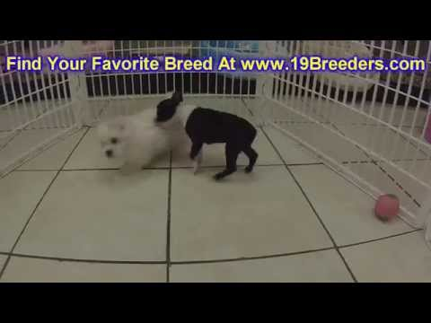Boston Terrier, Puppies, For, Sale, in, Mobile, County, Alabama, AL, Huntsville, Morgan, Calhoun, Et