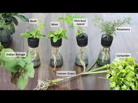 Grow 6 herbs in water | इन पौधों को अपने किचन गार्डन में उगाएं आसानी से : Herbs in hydroponic system