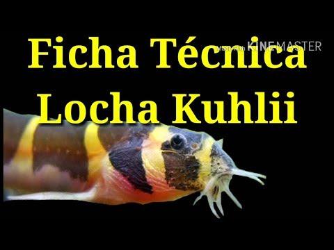 Ficha Técnica Locha Kuhlii (Pangio Kuhlii)