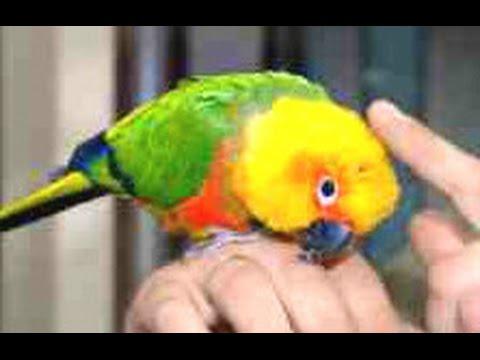 Крик черноголоврй АРАТИНГИ! Parrot. Черноголовый попугай Nanday parakeet