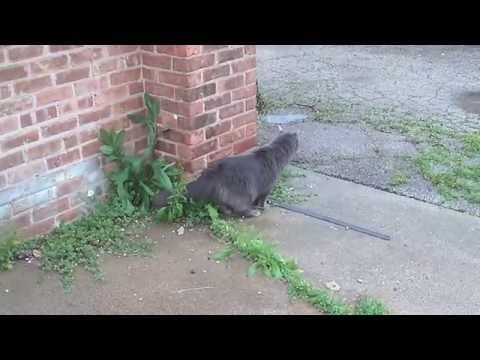 Nebelung Cat Ventures Outdoors