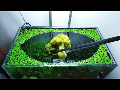 22nd Month – (Broccoli Feeding Frenzy) NO filter, NO CO2, NO Ferts 5 Gallon Nano Tank