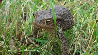 Жаба атакует! Бывают ли  бородавки от жаб и лягушек? Почему индейцы их любили?