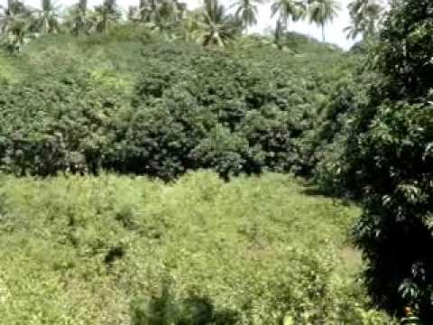 ibale manggo farm in sentinela, ubay bohol