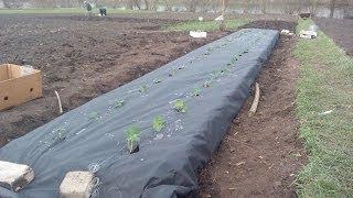 Грядки та посадка клубники.beds that planting strawberries(, 2014-04-30T05:58:45.000Z)